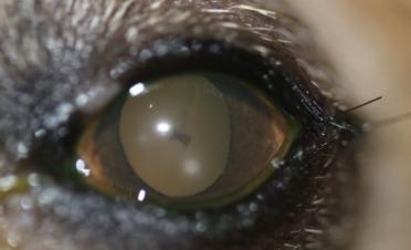 Ojo perro con desprendimiento de retina - Caso Fox