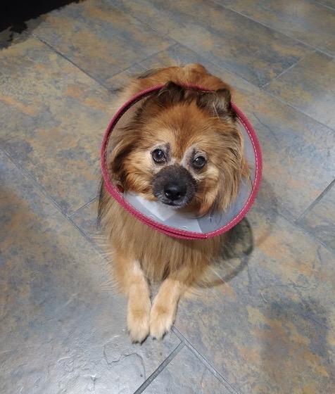 Fox tras su cirugía de vitrectomía