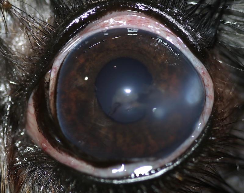 Ojo de perro con objeto o cuerpo extraño en la córnea