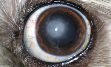 Ojo post cirugía de queratoplastia aún con cicatriz en la córnea - caso Kira