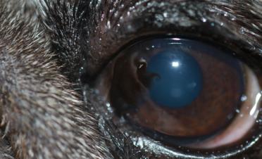 Entropion nasal en perro raza carlino o pug