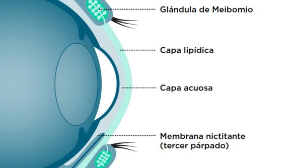 Glándulas lacrimales y superficie ocular