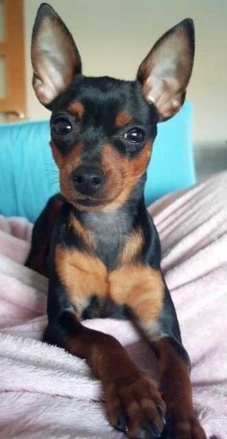 Perro ratón de Praga operado de perforación corneal en IVO. Caso Phoebe